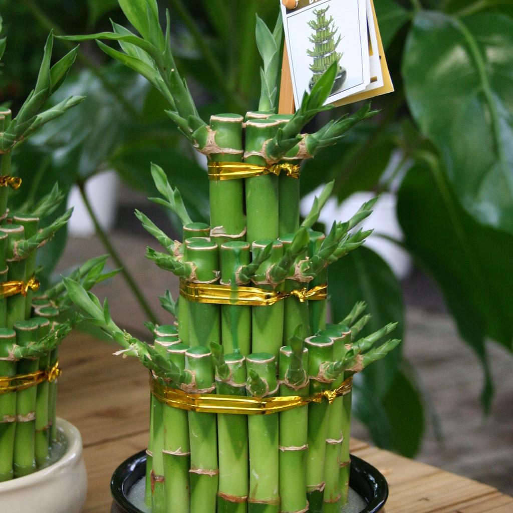 Dracaena sanderiana, syn. Dracaena braunii Lucky bambou panaché