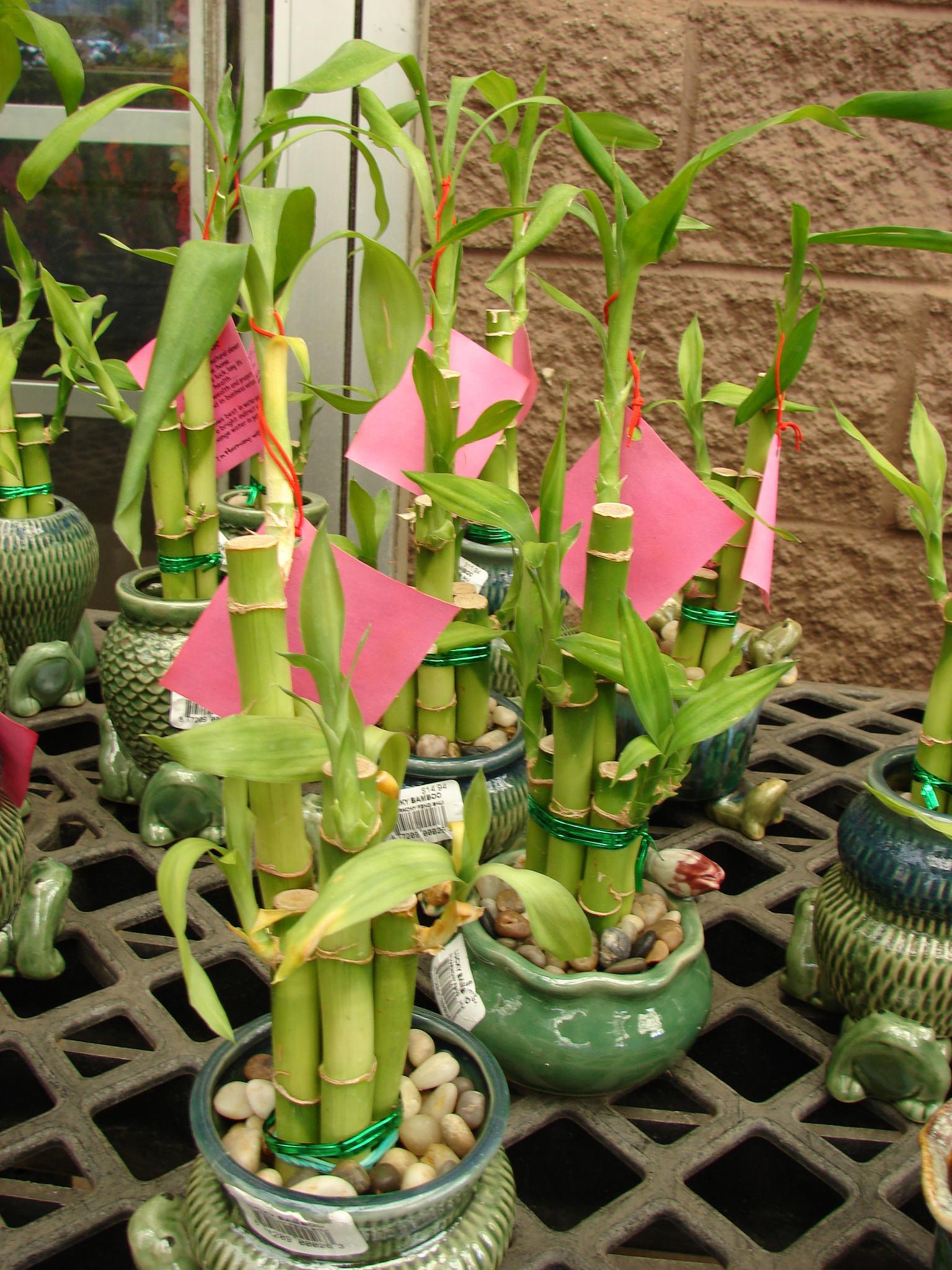 Lucky Bambou Planter Et Entretenir Ooreka