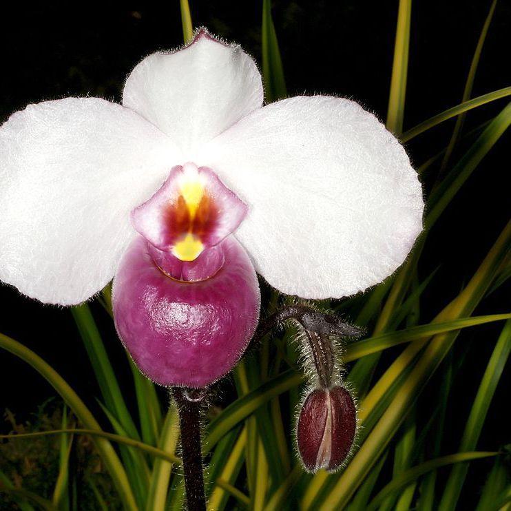 Paphiopedilum botaniques Paphiopedilum delanatii