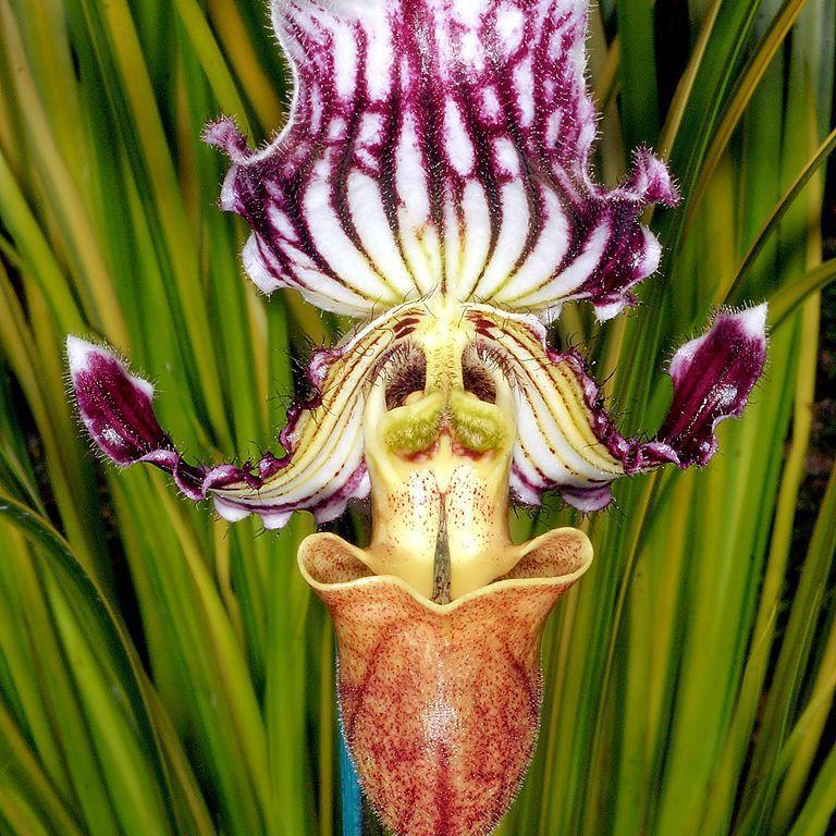 Paphiopedilum botaniques Paphiopedilum fairrieanum
