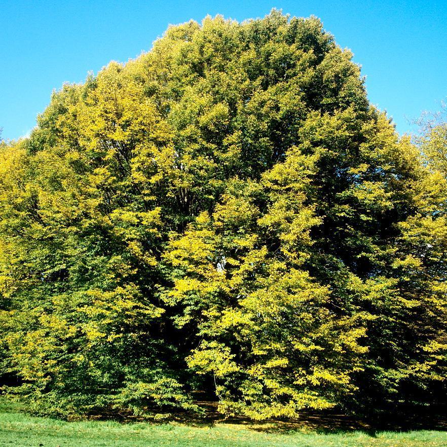 Élancé Carpinus betulus