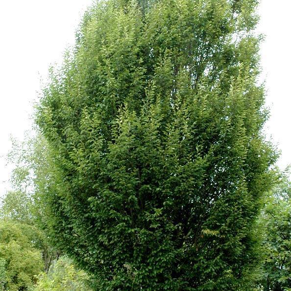 Élancé Charme pyramidal (Carpinus betulus 'Fastigiata')