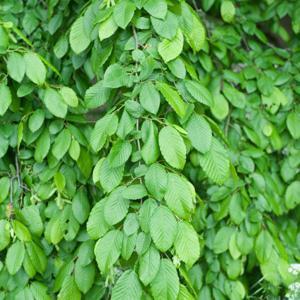 Pleureur Charme pleureur (Carpinus betulus 'Pendula')