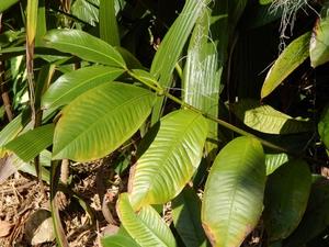 Semis et plantation du mangoustanier