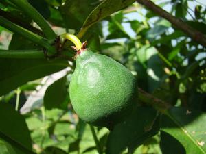 Culture et entretien du mangoustanier