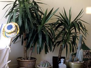 Plantation du yucca en pleine terre