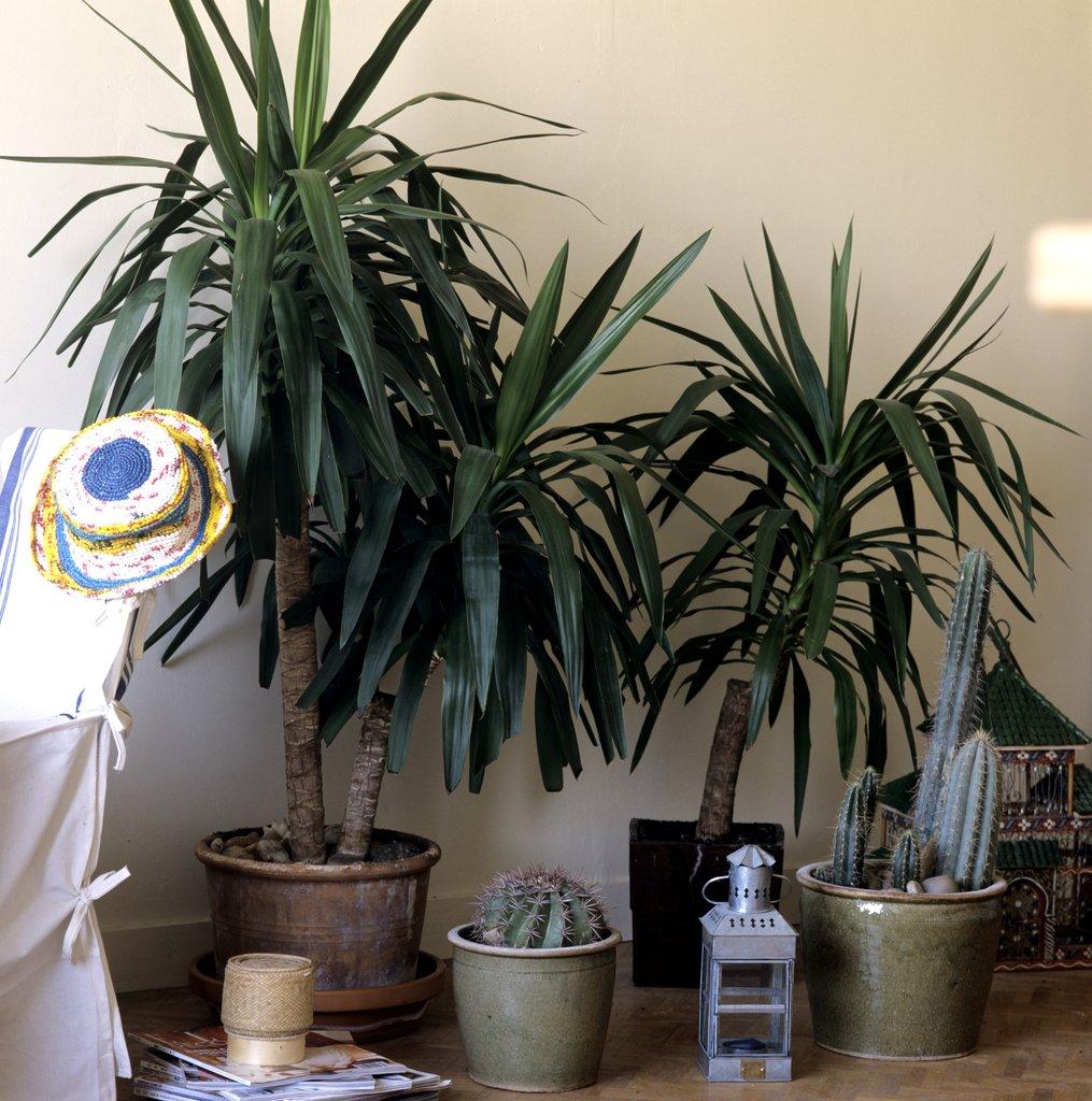 Yucca planter et tailler ooreka for Plante qui aime l ombre