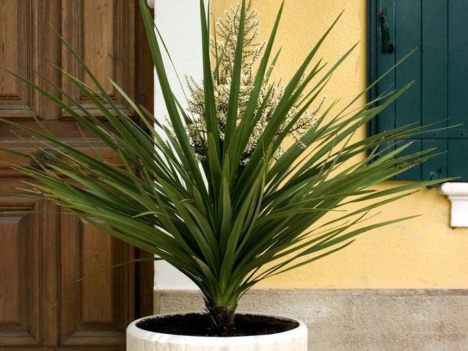 Yucca planter et tailler ooreka for Plante verte exterieur sans entretien