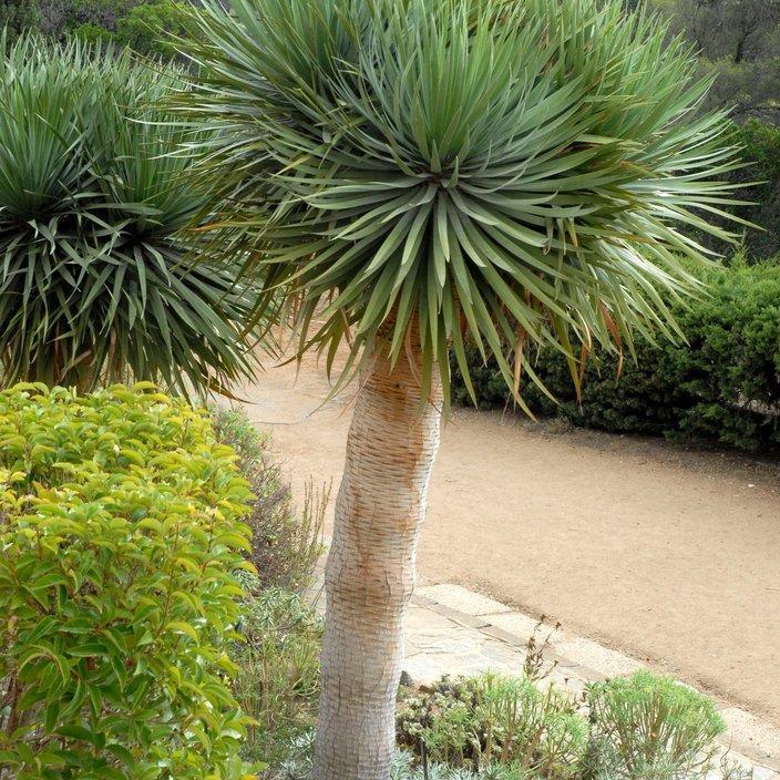Yucca à bec (Yucca rostrata)
