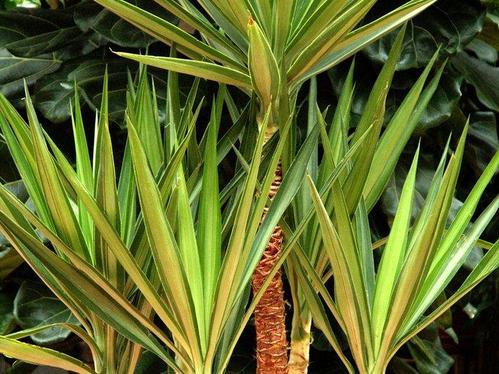 Plante grasse d extrieur cheap dsc with plante grasse d for Yucca exterieur gele