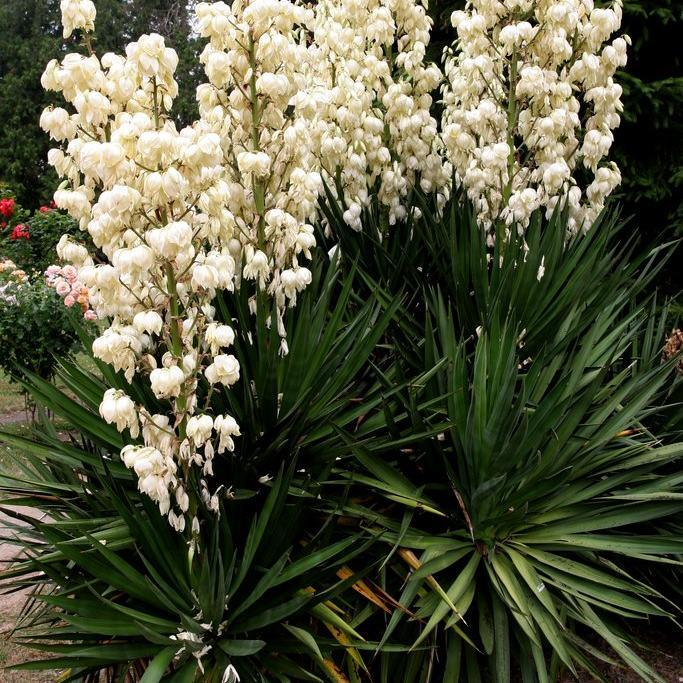 Yucca planter et tailler ooreka for Yucca exterieur feuille jaune
