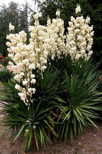 Yucca planter et tailler comprendrechoisir for Yucca exterieur pot