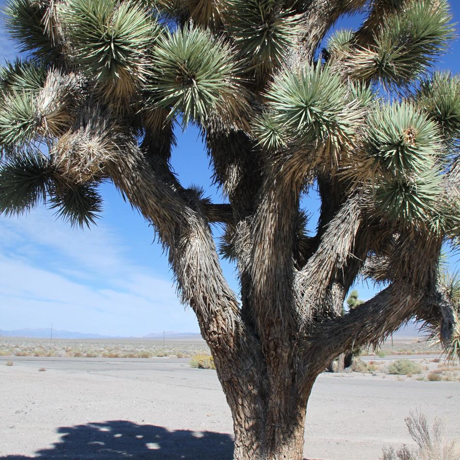 L'arbre de Josué (Yucca brevifolia)