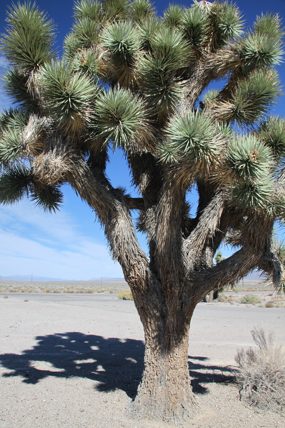 yucca   planter et tailler  u2013 ooreka