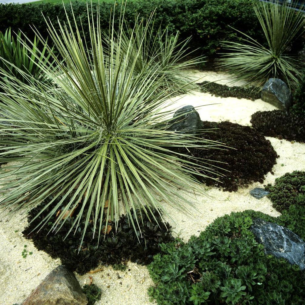 Palmier de saint Pierre (Yucca filifera)