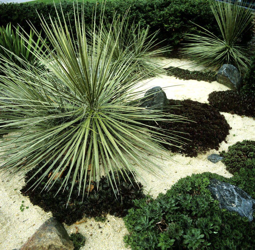 Yucca planter et tailler ooreka for Plantes exterieur resistant gel