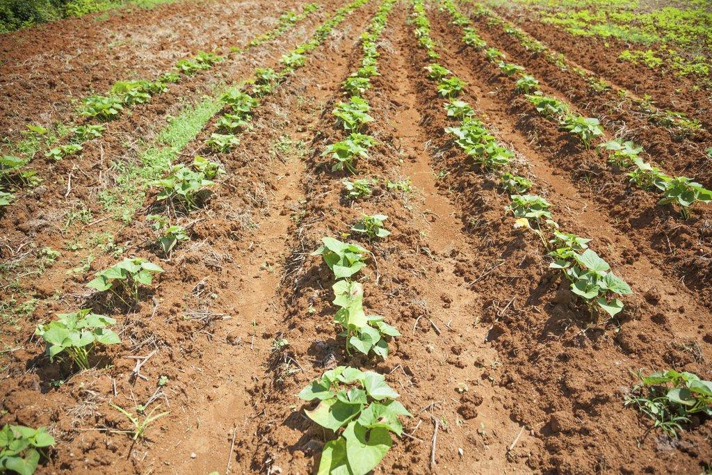 Igname de chine planter et cultiver ooreka for Plante 150 maladies madagascar