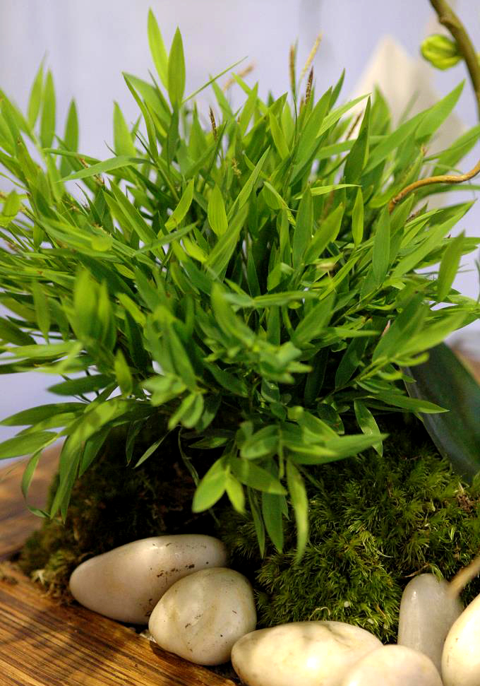 Pogonatherum paniceum planter et entretenir ooreka for Entretien rosier nain interieur