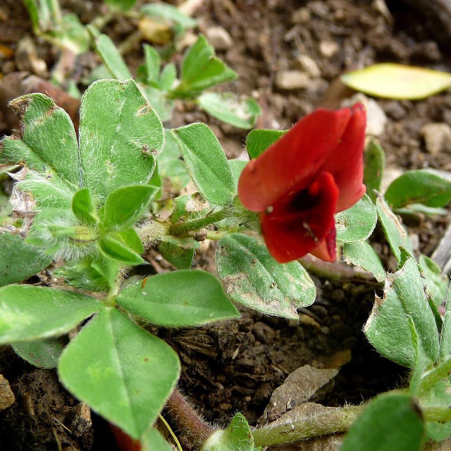 Pois asperge (Tetragonolobus purpureus)
