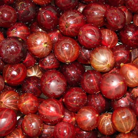 Groseillier à maquereau (Ribes-uva crispa, syn. Grossularia uva-crispa ou Ribes grossularia) Espèce type