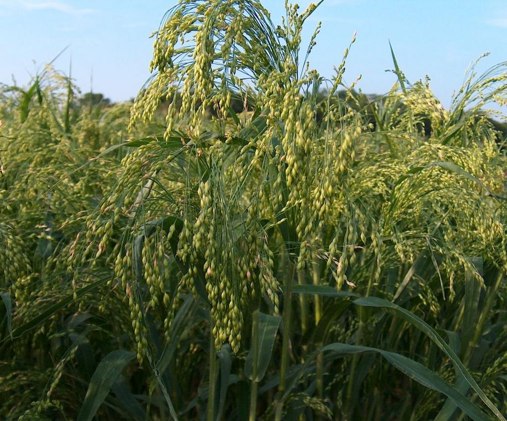 Millet planter et entretenir ooreka for Type de plante