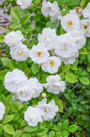 Rosa rugosa planter et entretenir ooreka - Quand tailler les rosiers buisson ...
