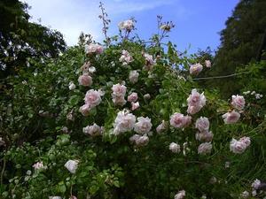 Plantation du rosier liane