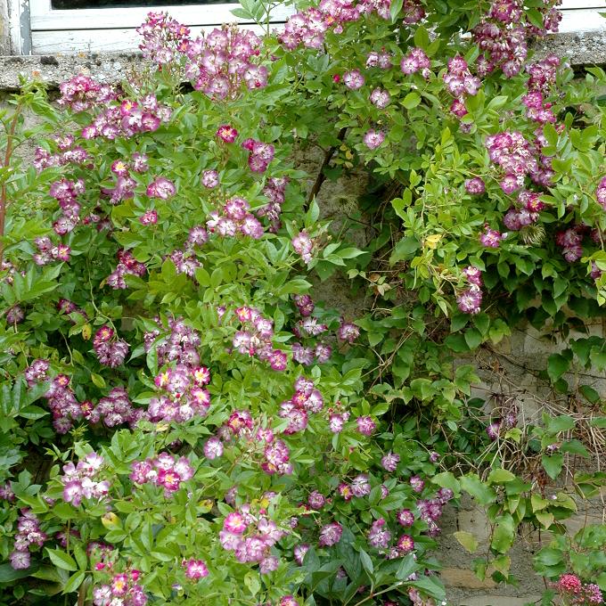 Rosiers lianes de printemps-été 'Veilchenblau'