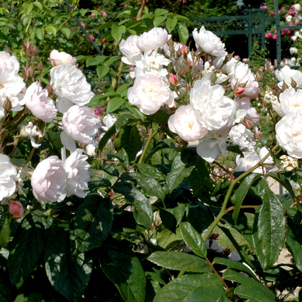 Rosiers lianes de printemps-été 'Dentelle de Malines'