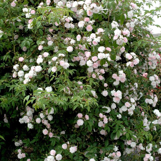 Rosiers lianes de printemps-été 'Paul's Himalayan Musk'