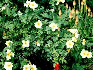 Multiplication du rosier liane