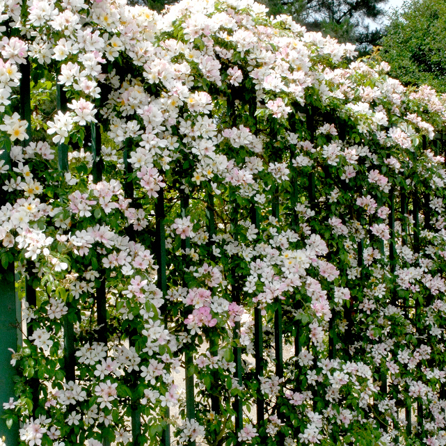 Rosiers lianes de printemps-été 'Wedding Day'