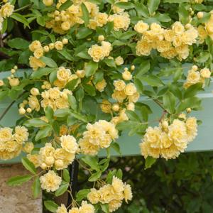 Rosiers lianes de printemps-été Rosier de Banks 'Lutea' (Rosa banksiae 'Lutea')
