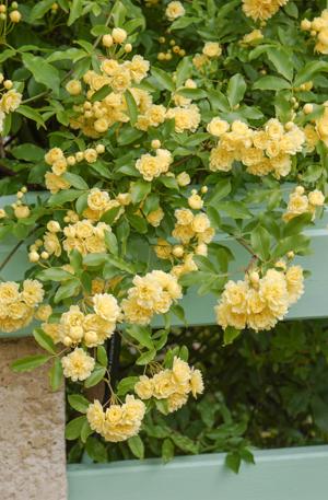 Rosier liane planter et entretenir ooreka for Comment arroser un rosier en pot