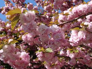 Culture et entretien d'un cerisier du Japon