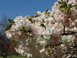 Multiplication d'un cerisier du Japon