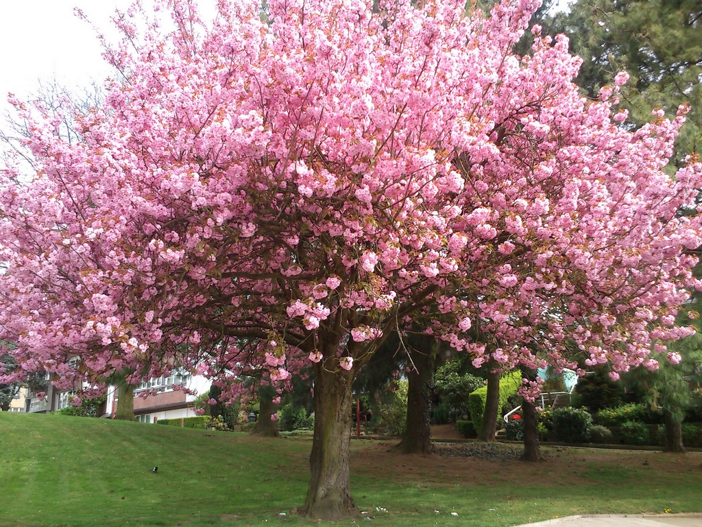 Sa floraison spectaculaire qui apparaît avant le feuillage et ...