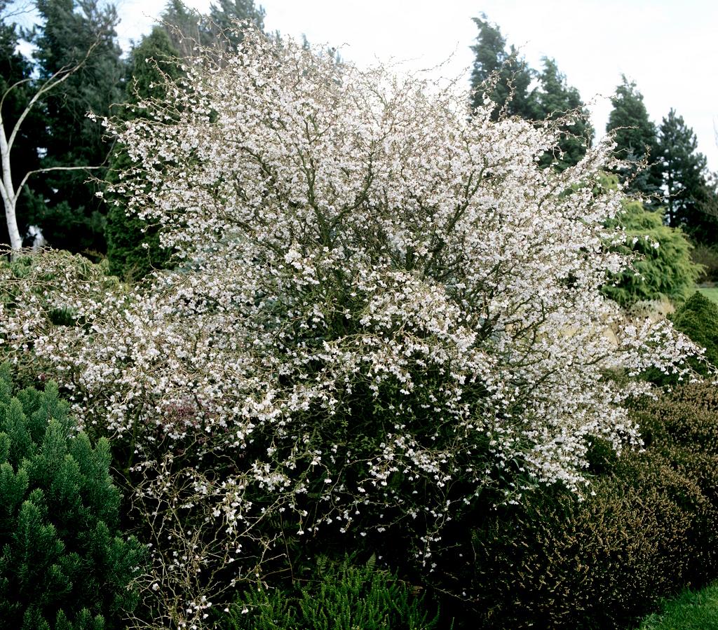 cerisier du japon   planter et entretenir  u2013 ooreka