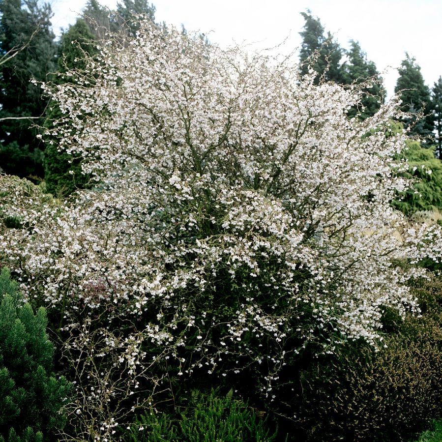 Cerisier du japon planter et entretenir ooreka - Variete de pommier rustique ...