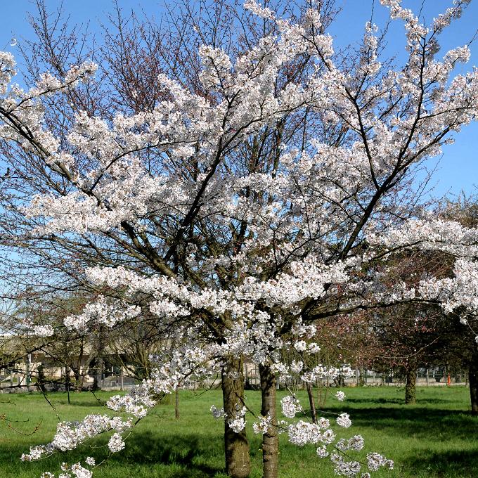 Cerisier du Japon de grande taille Cerisier de Yoshino (Prunus × yedoensis)