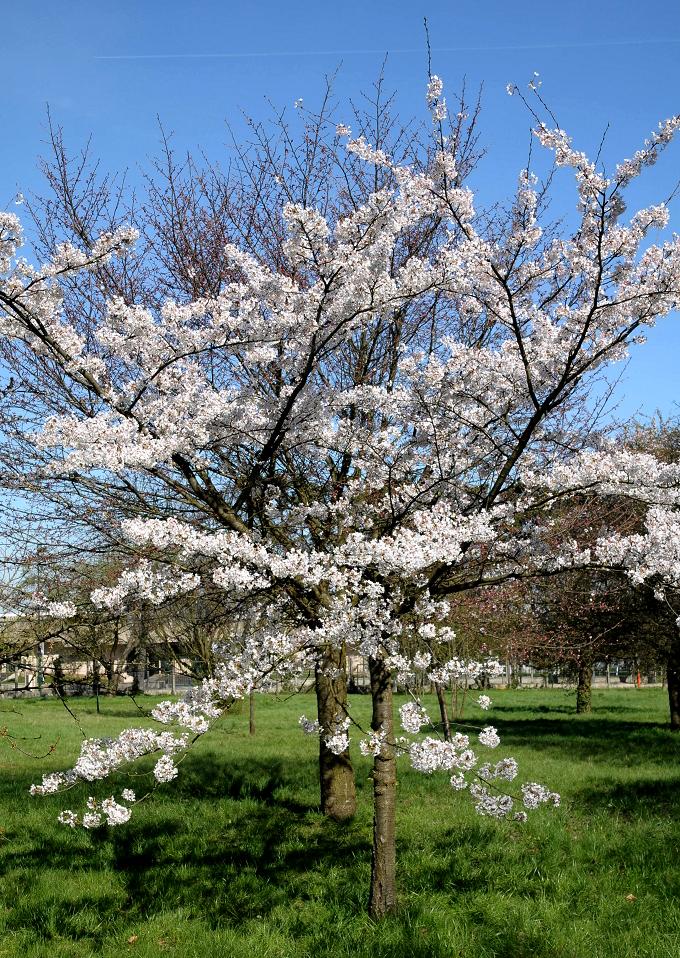 Cerisier du japon planter et entretenir ooreka - Comment planter un cerisier ...