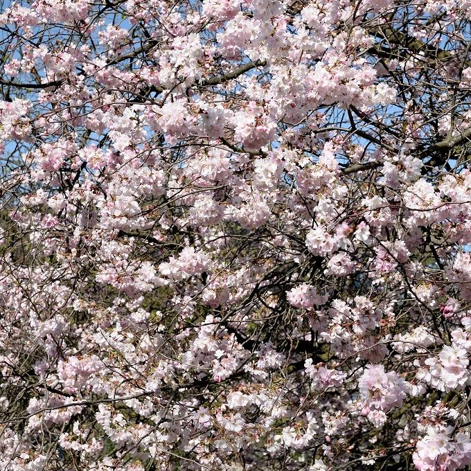 Cerisier du Japon de taille moyenne Cerisier de Sargent (Prunus sargentii)