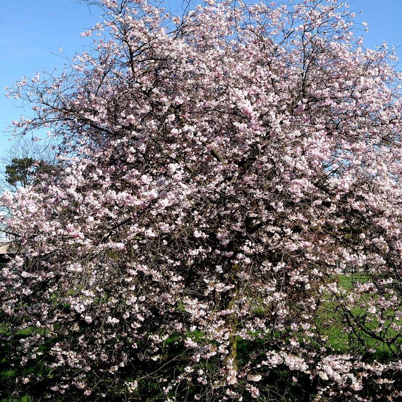 Cerisier du Japon de taille moyenne 'Acolade'