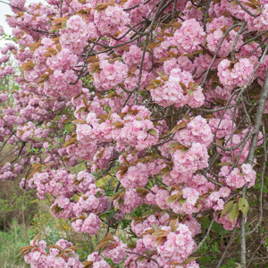 Cerisier du Japon de grande taille 'Kanzan'