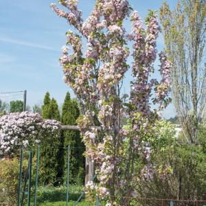 Cerisier du Japon de taille moyenne 'Amanogawa'