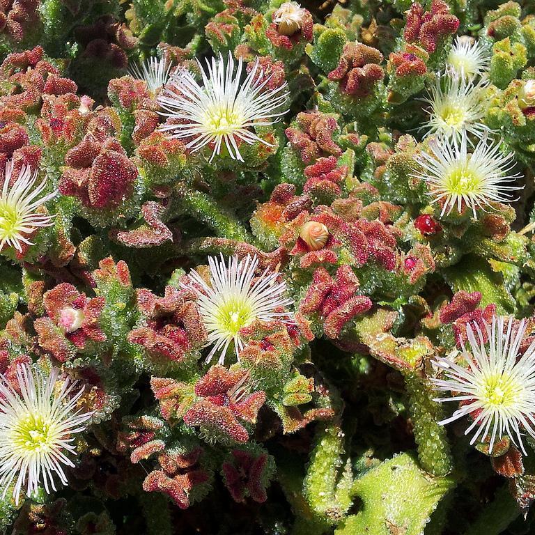 Mesembryanthemum crystallinum