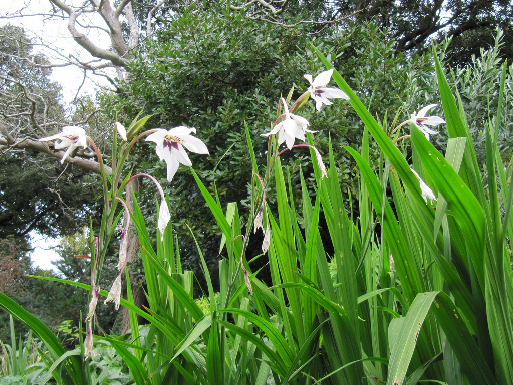 Glaïeul d'Abyssinie : planter et cultiver - Ooreka