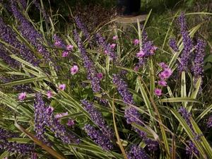 Plantation de <em>Liriope muscari</em>
