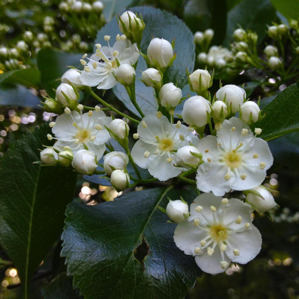 Aubépines à fleurs blanches Crataegus crus-galli var. inermis