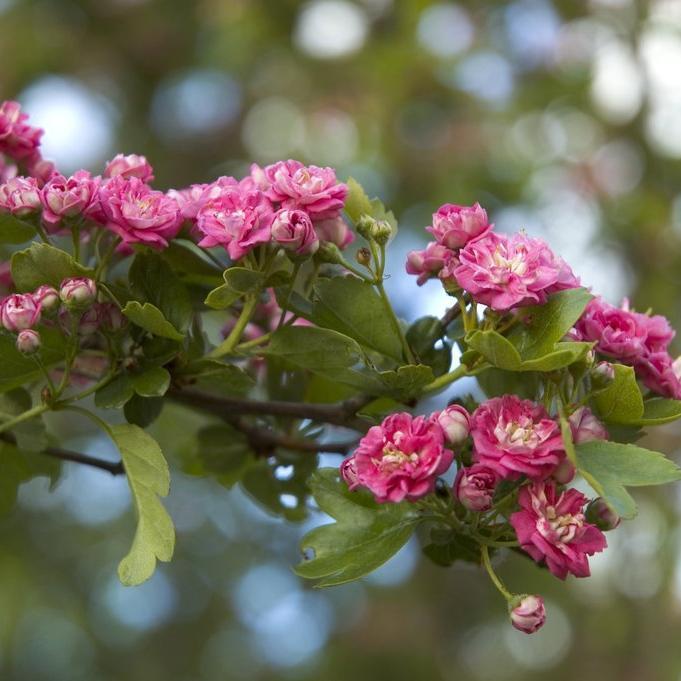 Aubépines à fleurs colorées Crataegus laevigata 'Paul's Scarlett'